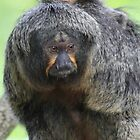White-faced Saki (female) by DutchLumix
