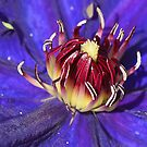 The heart of a Clematis flower by walstraasart