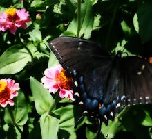Black Swallowtail Close-Up by kkphoto1