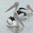 a flotilla of pelicans by Skye Hohmann