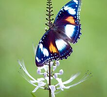 Wings - common eggfly butterfly by Jenny Dean