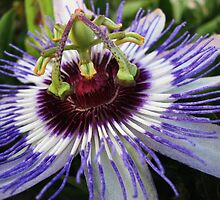 Passiflora by rasim1