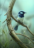 Superb Fairy-wren by Christopher Pope