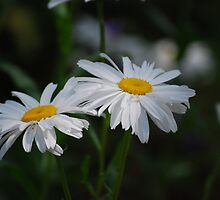 Double Daisy... by Carol Clifford