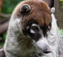 The White-nosed Coati  by angeljootje