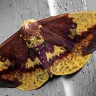 Imperial Moth by Gene Hilton