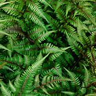 Ferns by Gene Hilton