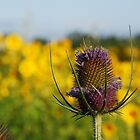 Purple and Yellow by John Beamish