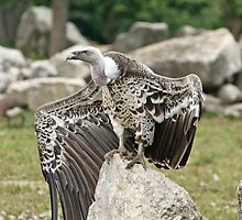 Ruppell's Griffin Vulture by Tracey  Dryka