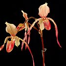 Lady Slipper Orchid by Justin Overholt