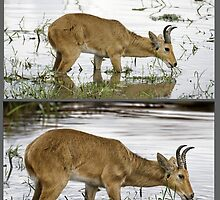 BOHOR REEDBUCK (Redunca redunca) REF PHOTO ABOVE, ART BELOW. PLEASE READ BLURB by DilettantO