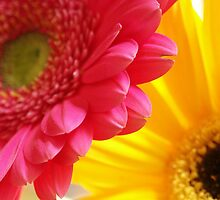 Pink & Yellow by Tiffany Dryburgh