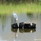 Egret by Barberelli