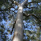 Under the Canopy of the Karri Tree by Leonie Mac Lean
