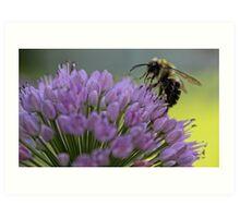 Bumble-Bee on Allium Flower Art Print