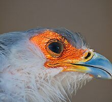 Secretarybird or Secretary Bird (Sagittarius serpentarius) i by Elaine123