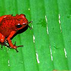 Strawberry Poison Frog (Dendrobates pumilio) - Cost Rica by Jason Weigner
