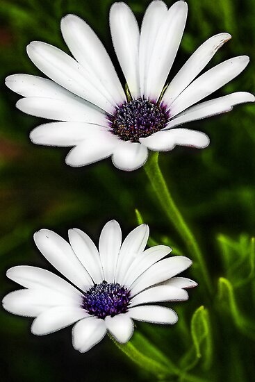 -White African Daisy by T.J. Martin