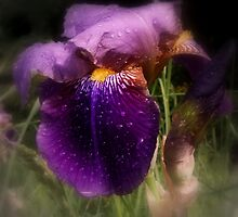 Raindrops on Purple Irises #2 by Dawna Morton