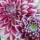 Purple Dahlias by Ellen McKnight
