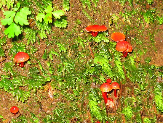 Mycena - Little Red Riding Hoods by Michael John