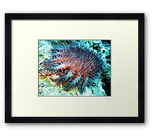Evil Crown of Thorns feasting on the Great Barrier Reef Framed Print