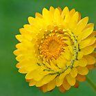 Yellow Strawflower by Ellen McKnight