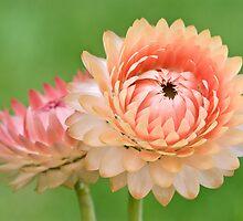 Strawflowers by Ellen McKnight
