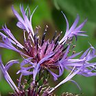cornflower blue by sceneclickseen
