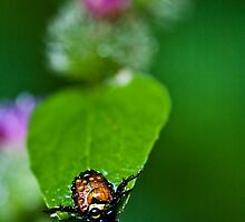 Raindrops on Japanese Beetle by Adam Bykowski