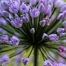 Wonderful Allium Blossom by T.J. Martin