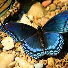 Blue butterfly by Brent McMurry