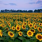 Sunflower Field by ApertureArtist