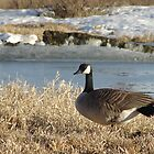 Canada Goose by lar3ry