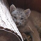 baby lynx by Leeanne Middleton