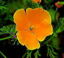 California Golden Poppy by Bob Wall