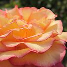 rose by Sherry Freeman