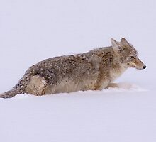 Coyote by the River by Forrest J. Wolfe