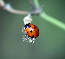 Ladybird (Coccinellidae) by larry flewers