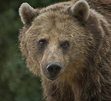Eurasian brown bear by jdmphotography
