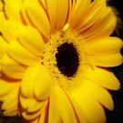 Yellow Gerbera ~ The Orton Effect ~ by Sandra Cockayne