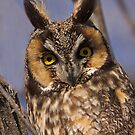 Long-Eared Owl by Kent Keller