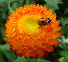 ladybird on orange flower by purpleminx