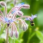 Borage Bee by missmoneypenny