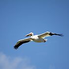 American White Pelican by Alyce Taylor