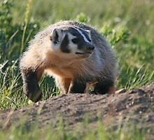 Baby American Badger by Vickie Emms