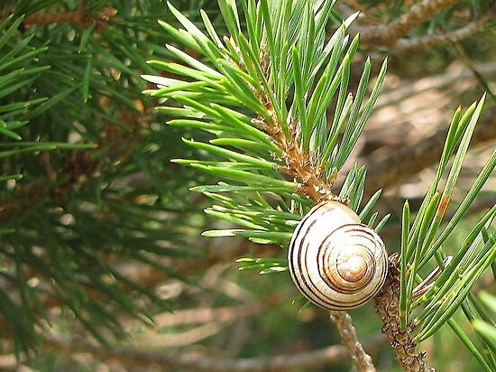 snail on pine by Leeanne Middleton