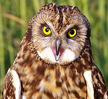 Short-eared Owl by Robert Kelch, M.D.