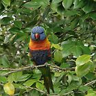 Rosella by judygal
