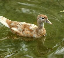 Wood Duck...(Champagne or Buff) by Jamie  Green